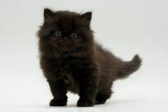 Nice cute black british kitten. Longhair studio shot Royalty Free Stock Photography