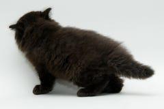 Nice cute black british kitten. Longhair studio shot Stock Image