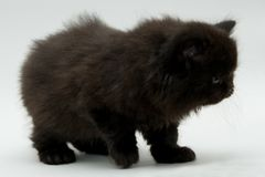 Nice cute black british kitten. Longhair studio shot Royalty Free Stock Image