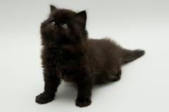 Nice cute black british kitten. Longhair studio shot Stock Images