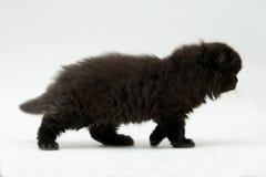 Nice cute black british kitten. Longhair studio shot Stock Photos