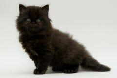 Nice cute black british kitten Stock Photos