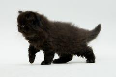 Nice cute black british kitten. Longhair studio shot Royalty Free Stock Photo