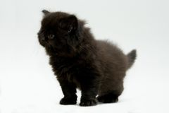 Nice cute black british kitten. Longhair studio shot Royalty Free Stock Images