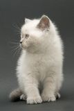 Nice cute british kitten. Colorpoint longhair studio shot Royalty Free Stock Image
