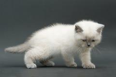 Nice cute british kitten. Colorpoint longhair studio shot Royalty Free Stock Photo