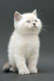 Nice cute british kitten. Colorpoint longhair studio shot Stock Image