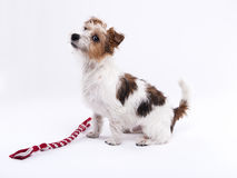 Nice, cute dog Jack Russell terrier with pleasure looks at the c Stock Images