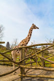 Nice cute giraffe in the park. Blue sky Stock Photography