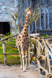 Nice cute giraffe in the park. Blue sky Royalty Free Stock Image