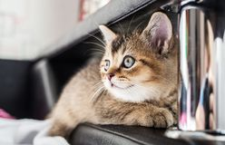 A nice, cute kitten British golden chinchilla is sitting on th. E couch. Close-up Royalty Free Stock Photos