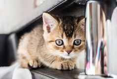 A nice, cute kitten British golden chinchilla is sitting on th. E couch. Close-up Royalty Free Stock Photo