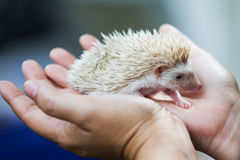Nice and cute sleepy African pygmy hedgehog rolled up. In his hand at his breeder, cuddling and socializing Royalty Free Stock Photo