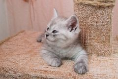 Cute and beautiful British gray white kitten lying on cat house and looking to the side. Nice cute striped british kitten with blue eyeslying on the cat house Stock Images