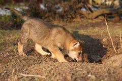Nice Czechoslovakian wolfdog puppy Royalty Free Stock Image