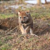 Nice Czechoslovakian wolfdog puppy playing Royalty Free Stock Image