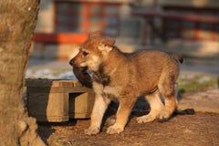 Nice Czechoslovakian wolfdog puppy playing Royalty Free Stock Images