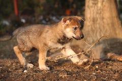 Nice Czechoslovakian wolfdog puppy playing Stock Photo