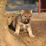 Nice Czechoslovakian wolfdog puppy Stock Image