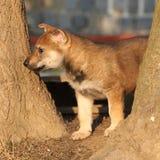 Nice Czechoslovakian wolfdog puppy between trees Stock Image