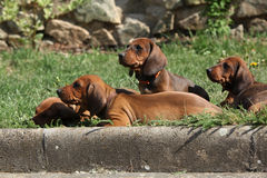 Nice Dachshund puppies laying in the garden Stock Images