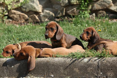 Nice Dachshund puppies laying in the garden Stock Photos