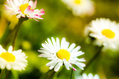 Nice daisies in sunny spring meadow Stock Photos