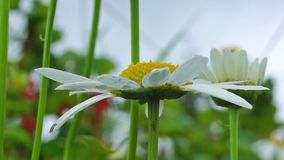 Nice daisy in grass stock footage