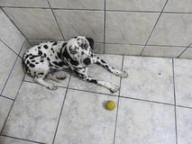 Nice Dalmatian dog. My Nice Dalmatian dog  in house family happy Royalty Free Stock Images