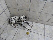 Nice Dalmatian dog. My Nice Dalmatian dog  in house family happy Stock Photo