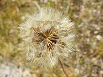 Beautiful dandelion fluff in meadow, Lithuania Royalty Free Stock Photo