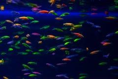 Nice danio glow fish freshwater pets aquarium. River mutation stock images