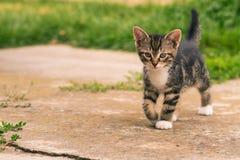 Nice dark tabby kitten with paws walks on concrete. Horizontal photo of single kitten. The cat has nice dark tabby fur with white chest and paws. The baby animal Stock Photos