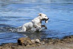 Nice dat Labrador jaagt Stock Fotografie
