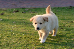 Nice day for dog l. Labrador puppy playing on the green grass Royalty Free Stock Photography