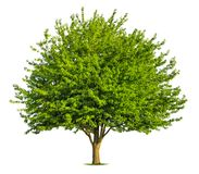 Nice deciduous tree on white Royalty Free Stock Photography