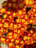Mums in orange Royalty Free Stock Images