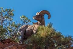 Nice Desert Bighorn Ram on Ridge Royalty Free Stock Photo