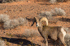 Nice Desert Bighorn Ram Stock Photo