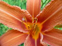 Close up of orange lilies in New York royalty free stock photos