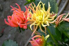Nice Dhalias in garden. Nice flowers of Dhalia blooming in the garden in mid spring. Image enchanting beauty of nature stock photography
