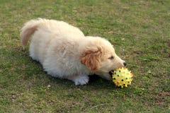 Nice dog. Playing with ball on gras Stock Photos