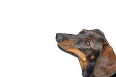Nice dog. Dachshund. focus on the eye Royalty Free Stock Photos