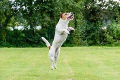 Nice dog jumping up playing at back yard lawn Royalty Free Stock Image