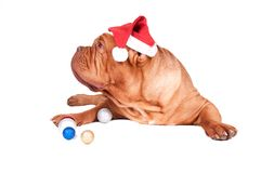 Nice dog ready for Christmas celebration Stock Photos