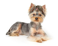 Nice dog with short hair Stock Images