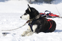 Nice dog in the snow. Dog of traineau in the snow Royalty Free Stock Photos