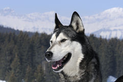 Nice dog in the snow Royalty Free Stock Photos
