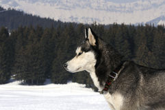 Nice dog in the snow. Dog of traineau in the snow Royalty Free Stock Images