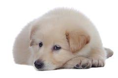 Nice dog with soft white hair sleeping Stock Photography